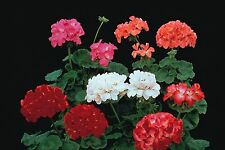 Geranium Paintbox Mixed - 10 Seeds - F2 Pelargonium