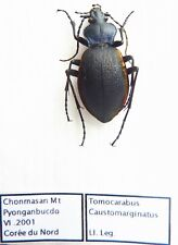 Carabus tomocarabus caustomarginatus (female A1) from KOREA