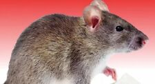 """Raticide Rat Mouse Poison Professional Grade """"This Stuff Really Works"""" 150 Grams"""
