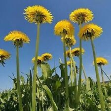 H025 Dandelion, Taraxacum x200 seeds