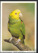 Animals Postcard - Birds - Double Yellow Headed Amazon Parrot  RR1327