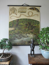 VINTAGE  ZOOLOGICAL PULL DOWN SCHOOL CHART OF GRASS SNAKES - LITHOGRAPH 1920's