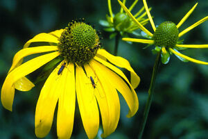Rudbeckia Laciniata - 30 Seeds  - Cutleaf Coneflower - Hardy Perennial