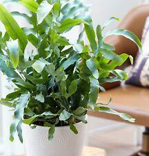 BLUE STAR FERN Polypodium aureum tropical indoor plant in 130mm pot
