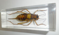 Giant Ox Armoured Cricket Damalacantha vacca in Clear Block Education Specimen