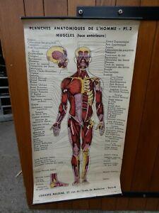 Antiquité Scolaire Planche 3 Anatomique de l'Homme Librairie Maloine Paris 1930