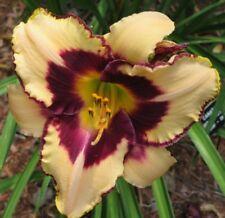 Daylily Plant CANADIAN BORDER PATROL Salter-E.H. DF Cream Purple Daylilies