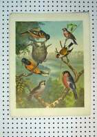 Original Old Antique Print C1864 Colour Wild Birds Warblers Wagtails Wren 19th