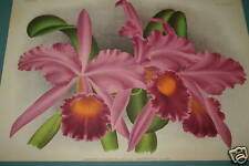 Lindenia Limited Edition Cattleya Warocqueana Spendor Orchid Collector Wall art
