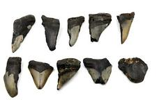 Megalodon Teeth Lot of 10 Fossils w/10 info cards Shark #15673 33o