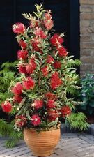 SLIM Callistemon viminalis CV01 red bottlebrush native plant in 140mm pot