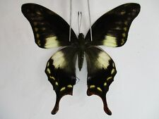 Pa2930.Unmounted butterflies: Meandrusa lachinus sp. Central Vietnam. Over 2000m