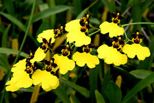 Oncidium Moon Shadow 'Tiger Tail', orchid plant