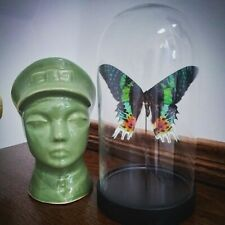 Glass Dome With Real Butterfly Madagascan Sunset Moth Taxidermy Gifts Curio