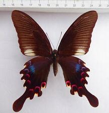 Papilio stockleyi Weibchen ex Thailand   very  rare   n404