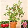 Bonsai Cherry Fruit Sweet Sylvia Dwarf Tree Garden Plants Potted O 10 Pcs Seeds
