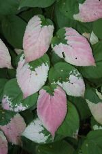 8 graines de KIWI ARCTIQUE (Actinidia Kolomikta)H289  ARCTIC BEAUTY KIWI SEEDS