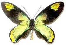 Ornithoptera victoriae victoriae male. UNUSUAL LOWER WINGS. Solomon Island. Rare