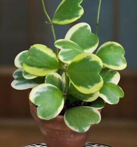 Flowers Hoya Kerrii green lucky-heart beautiful rare plants home garden 100seeds