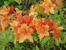 Deciduous Azalea Knap Hill Golden Eagle 30-40cm  in 4L Pot,Orange/Yellow Flowers