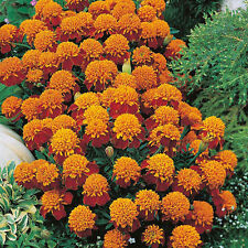 """Tiger Eyes Marigold """"Tagetes Patula"""" 100 Seeds"""