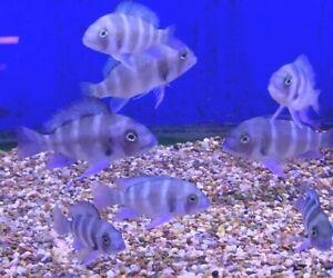 """MPIMBWE BLUE FRONTOSA APPROX 2 1/2"""" - 3""""  +++beautiful color+++++ AMAZING FISH"""