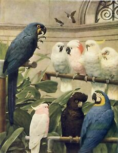 Old 1913 Vintage STACY MARKS Art Print SELECT COMMITTEE Parrot Cockatoo Macaw