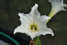 Hippeastrum brasilianum! Large Bulbs! Seed Grown! Nfs Very Rare!