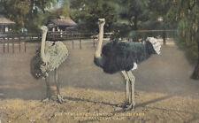 OLD Postcard A183 The Newlyweds Cawston Ostrich Farm South Pasadena California