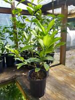 Dwarf Mayer Lemon  Tree. 1 gallon pot. Good for lemonade. Inside,outside plant