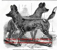 African Wild Dog Cape Hunting Painted Dog, Large 1860s Antique Print & Article