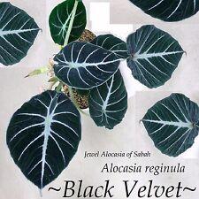 ~BLACK VELVET~ Alocasia reginula JEWEL of SABAH Elephant Ear sml potd Plant