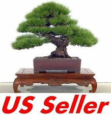 10 PCS Japanese Bonsai White 5 NEEDLED Pine Seeds T9 Garden Plant Seed US Seller