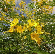 10Caesalpinia pulcherrima Seed Yellow Stunning Dwarf Poinciana Pride of Barbados
