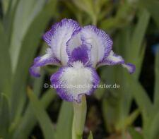 Spada Giglio Rose Violet-Iris Barbata