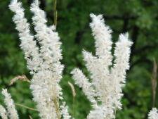 100 Samen Wimper-Perlgras Melica cilata