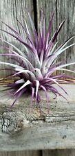 3 Tillandsia Ionantha ~Violet~ Colorized Fairy Garden Air Plants Terrarium