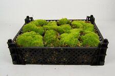 Terrarium Bodengrund Moos Substrat für Terrarien 1 Kiste Kugelmoos Terra Moss