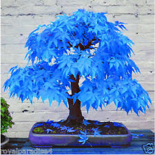 12 Seeds Blue American Maple Bonsai Flowering Tree Seeds Good Growing Seeds