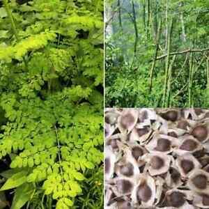 20 Organic Moringa Oleifera Drumstick Seeds NON GMO For Planting Sprouting Food