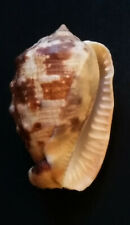 Cassis: Cypraecassis coarctata, 60mm, from the Bay of Panama