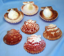 12 Large Calico Scallops 2-2 1/2