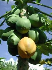 8 graines de PAPAYER NAIN(Carica Papaya Pusa Nanha)G145 SEED SAMEN SEMI SEMILLAS