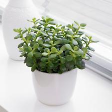 Crassula Minor Houseplant - Live Decorative Indoor 'Jade Money' Plant 12cm Pot