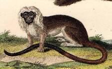 Primate Mono Original 1821 impresión de color mano Antiguo Buffon animal grabado