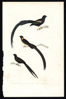 Antique Bird Print-LONG TAILED PARADISE WHYDAH-INDIGOBIRDS-Buffon-Fournier-1837