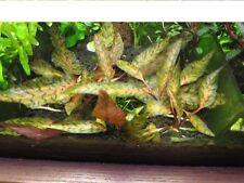 """Cryptocoryne nurii  """"Rosen Maiden"""", Live Aquarium Aquatic Plant"""
