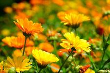 #2 Samen Saatgut Blumen RINGELBLUME CALENDULA (100) aus bio-veganem Garten