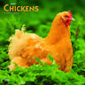 Chickens 2020 Square Wall Calendar by Browntrout an Ideal Gift FREE POST