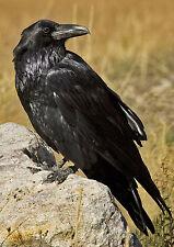 COMMON RAVEN - 3D Lenticular Postcard Greeting Card - Wildlife Bird